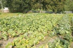 växande grönsak för kålfält Royaltyfri Fotografi