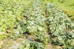 växande grönsak för kålfält Arkivfoton