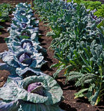 växande grönsak för odlingslott Arkivbild