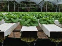 Växande grönsallat Arkivfoto