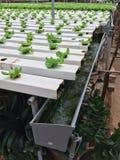 Växande grönsallat Royaltyfri Bild