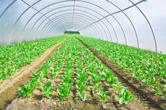 växande grönsallat för burkgrönska Arkivfoton