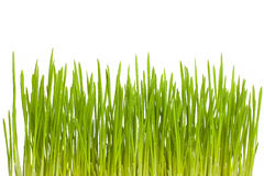 Växande grönt gräs Arkivbilder