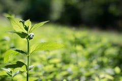 Växande grönt vänstert Fotografering för Bildbyråer