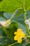 Växande gurka Fotografering för Bildbyråer