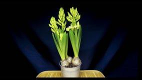 Växande hyacintblommakulor i krukan som isoleras i snabb rörelse arkivfilmer