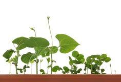 växande isolerat växtbarn Royaltyfri Bild