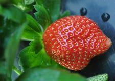 växande jordgubbe Royaltyfria Foton