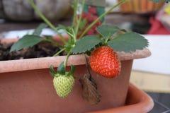 Växande jordgubbe från en behållareväxt Fotografering för Bildbyråer
