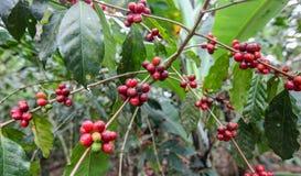 Växande kaffekörsbär Arkivfoto