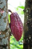 Växande kakao för choklad Arkivfoton