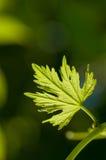 växande leafvine Royaltyfria Foton