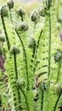 Växande leaves av fjäderfernen Royaltyfri Foto