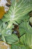 växande leaves för kålfält Royaltyfria Bilder