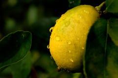växande limefrukt Arkivbilder
