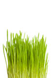 Växande lodlinje för grönt gräs Royaltyfria Bilder