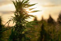 Växande marijuana i fält Fotografering för Bildbyråer