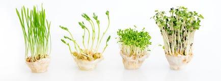 Växande microgreens på vit bakgrund med fritt utrymme för text Sunt ätabegrepp av ny trädgårds- jordbruksprodukter arkivbilder