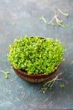 Växande mikro-gräsplaner i en bunke arkivbild