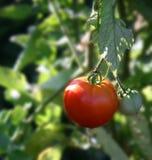 växande mogen tomatvine Arkivbilder