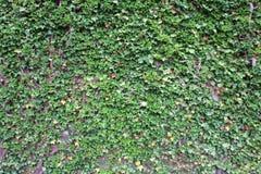 växande murgröna upp väggen Arkivbilder