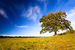 växande oak för fält Arkivbild