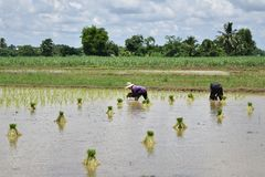 Växande område för ris Royaltyfria Bilder