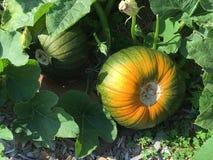 Växande orange zucchini arkivfoto