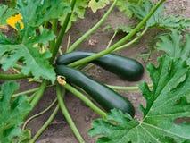 Växande organisk zucchini Arkivbilder