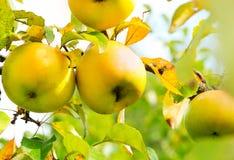 Växande organiska äpplen på en filial Arkivbild