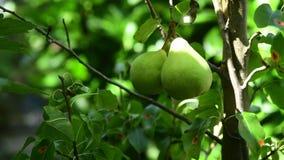 Växande päron på en filial stock video