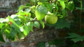 Växande päron på en filial arkivfilmer