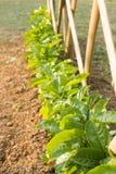 Växande passionfrukt i en trädgård Arkivfoto
