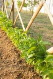 Växande passionfrukt i en trädgård Royaltyfri Foto