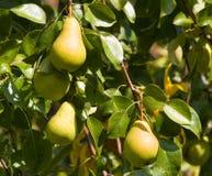 växande pears Royaltyfri Bild