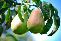växande pears Royaltyfria Foton