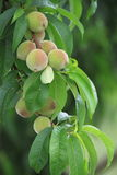 Växande persika Arkivbilder