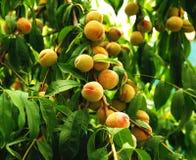 Växande persika Arkivfoton