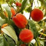 Växande persika Fotografering för Bildbyråer