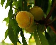 Växande persika Royaltyfri Foto