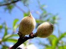 växande persikor Arkivfoton