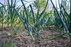 Växande planterad hem-fullvuxen lökAlliumcepa och vitlök sativum Alium Lökkoloni på vårtid Arkivfoton