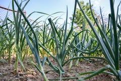 Växande planterad hem-fullvuxen lökAlliumcepa och vitlök sativum Alium Lökkoloni på vårtid Arkivfoto