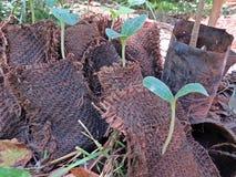 växande pumkins, organiskt lantbruk i Auroville royaltyfri foto