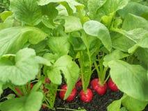 Växande rädisor i trädgården i växthuset Arkivfoto