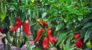 Växande röd peppar arkivfoto