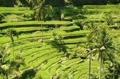 växande rice Royaltyfri Bild