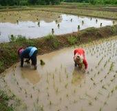 Växande ris för thailändsk bonde Royaltyfri Bild