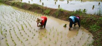 Växande ris för thailändsk bonde Royaltyfri Fotografi