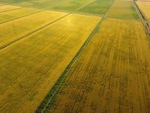 Växande ris på översvämmade fält Mogna ris i fältet, början av plockningen En fågelperspektiv Arkivfoton
